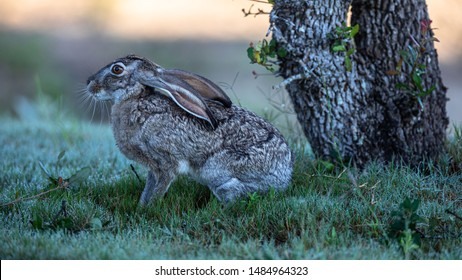Jack Rabbit with the ears down