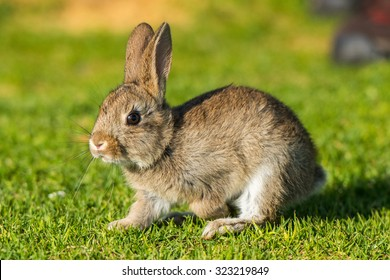 Jack rabbit hare while looking at you on grass background