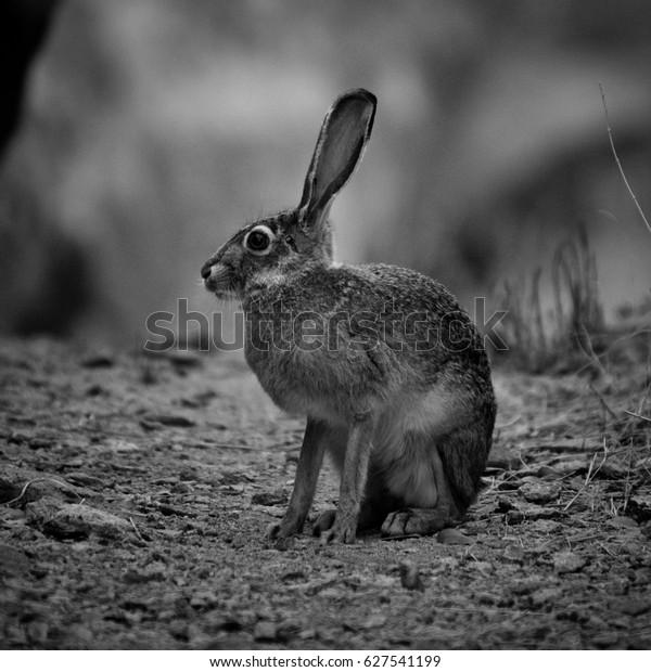 Jack Rabbit Usa >> Jack Rabbit New Mexico Usa Stock Photo Edit Now 627541199