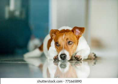 Jack russel dog lying on the floor, in the background of a Thai cat