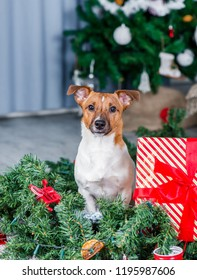 Jack Russel dog near Christmas tree