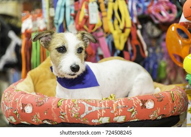 Jack russel dog in pet store