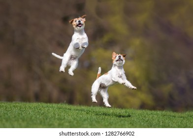 Jack Russel family