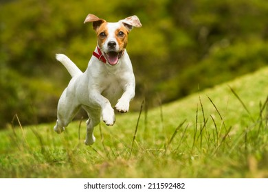 Jack Russel Parson Dog Run Toward The Camera Low Angle High Speed Shot