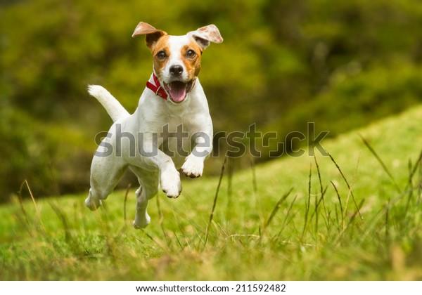El Perro Jack Russel Parson Corre Hacia La Cámara De Alto Ángulo