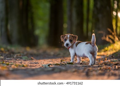 jack russel puppy on autumn alley