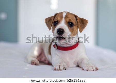 photo de stock de jack russel puppy on white carpet (modifier