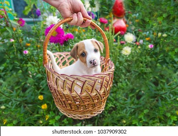 Jack Russel puppy sitting in basket in a garden full of colorful flowers. Closeup portrait