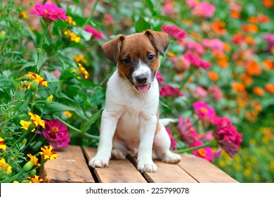 Jack Russel puppy sitting on old wooden crate in a garden full of colorful flowers