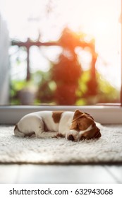 Jack russel puppy, sleeping on white fluffy carpet. Hygge concept