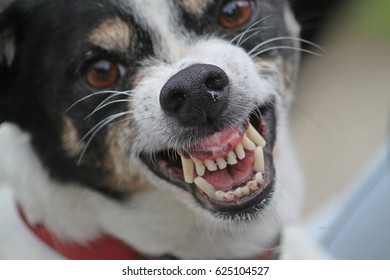 jack russel schows tooth