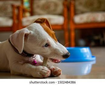Jack russel terrier bit bone food in living room.