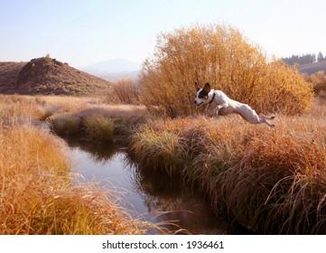 Jack Russel Terrier creek jumping