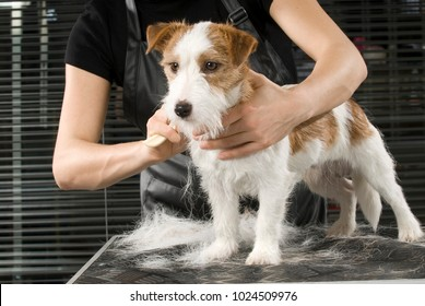 Jack Russel Terrier at the dog barber