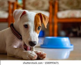 Jack russel terrier dog bit bone at room.