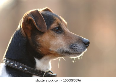 Jack Russel Terrier dog, closeup view