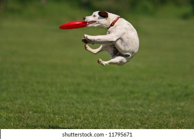 Jack russel terrier during a funny frisbee catch...