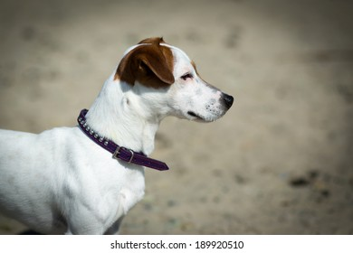 Jack Russel Terrier on the beach