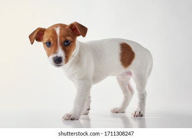 Jack Russel terrier puppy dog on white background