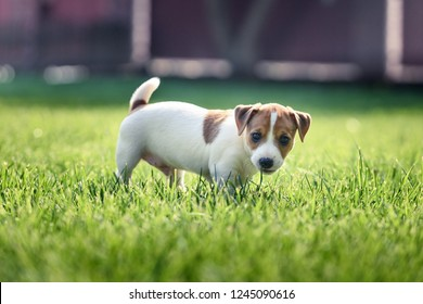 Jack russel terrier puppy on green lawn. Happy dog with serious gaze