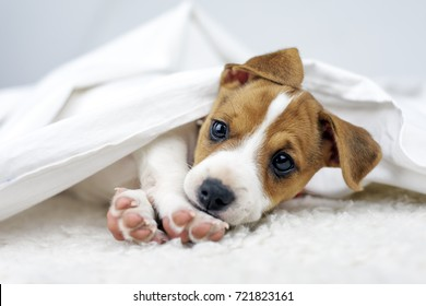 Jack russel terrier puppy sleeping on white bed. Small dog under blanket