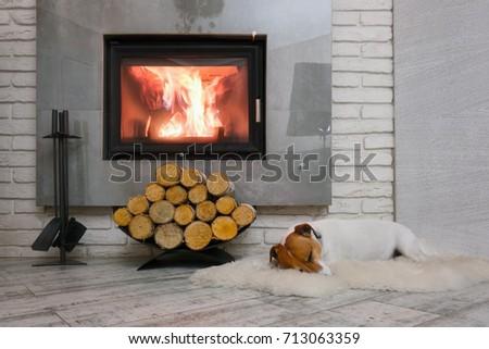 Jack russel terrier sleeping