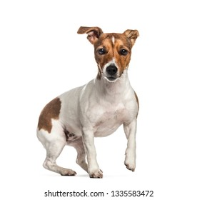 Jack Russell, 1 year old, in front of white background