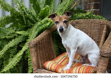 Jack Russell In Cane Chair