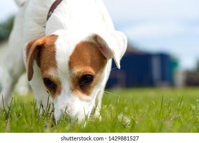 jack russell closeup green grass
