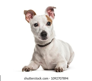 Jack Russell dog, 2 years old, lying against white background