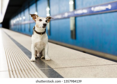 Jack russell dog abandoned and left all alone at the metro rail station or subway , waiting for the owner with love