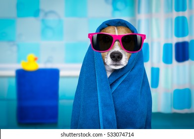 jack russell dog in a bathtub not so amused about that , with blue  towel, wearing funny sunglasses or glasses having a spa or wellness treatment