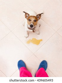 jack russell dog being punished for urinate or pee  at home by his owner, isolated on the floor