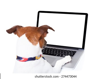 jack russell dog booking , searching or browsing online  the internet , with a laptop pc computer screen, isolated on white background