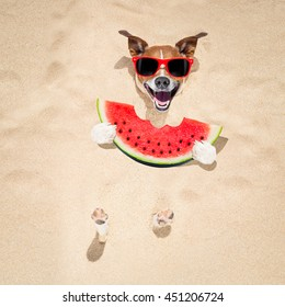 jack russell dog  buried in the sand at the beach on summer vacation holidays ,  wearing red sunglasses, eating a fresh juicy watermelon