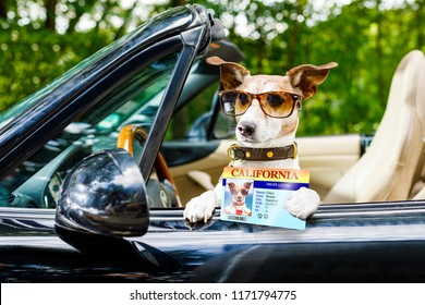 jack russell dog in a car close to the steering wheel, ready to drive fast and save , with seat belt fastened, with drivers license