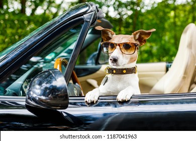 jack russell dog in a car close to the steering wheel, ready to drive fast and save , with seat belt fastened