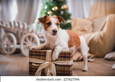 Jack Russell dog at the Christmas tree 2016 year