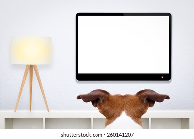 jack russell, dog in front of a blank and empty tv television or pc computer screen, and watching  , in his living room