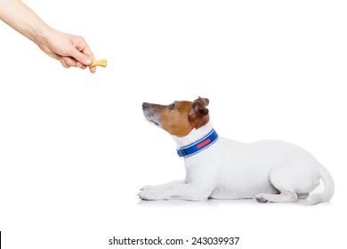 jack russell dog getting a cookie as a treat for good behavior,isolated on white background