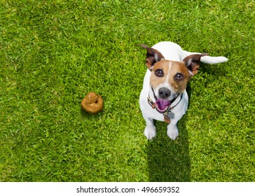 jack russell dog guilty for the poop or shit on grass and meadow in park outdoors