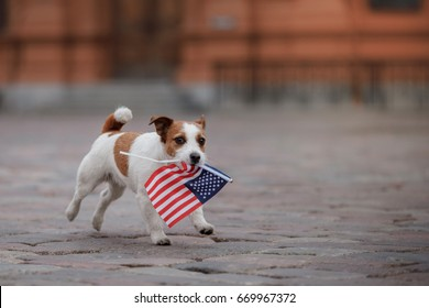 jack russell dog holding a flag of usa on independence day on 4th of july