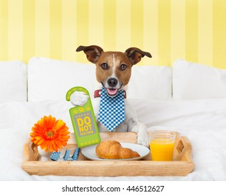 jack russell dog in hotel  having room service with do not disturb sign  in paw with breakfast in bed , eyes covered by an eye mask