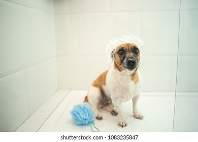Jack Russell dog inside shower