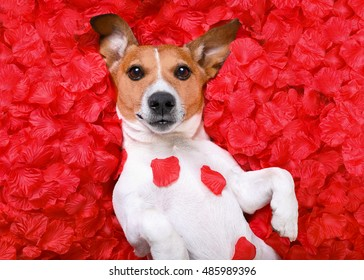 jack russell  dog looking and staring at you   ,while lying on bed full of rose petals as background  , in love on valentines day