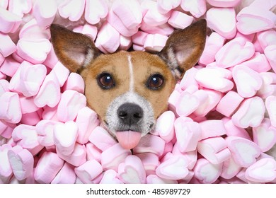 Jack russell  dog looking and staring at you   ,while lying on bed full of marshmallows as background  , in love, sticking out tongue