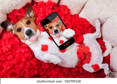 Jack russell  dog looking and staring at you in love  ,while lying on bed with valentines petal roses as background, taking a selfie ,sticking out tongue