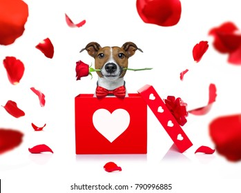 jack russell dog in love for happy valentines day with  rose flower in  mouth , isaolated on white background petals flying around in air