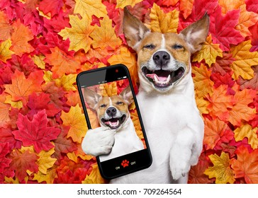 jack russell dog , lying on the ground full of fall autumn leaves, lying on the back torso and taking  a selfie with smartphone mobile phone