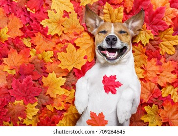 jack russell dog , lying on the ground full of fall autumn leaves,laughing out loud  lying on the back torso